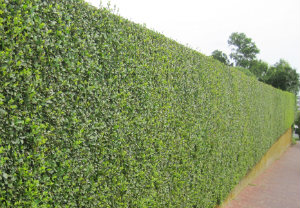 hedge-cutting-maintenance-south-bank